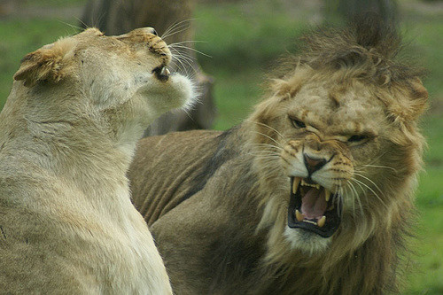Lions fighting.jpg